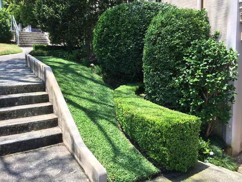 pruned hedgesand round cut trees