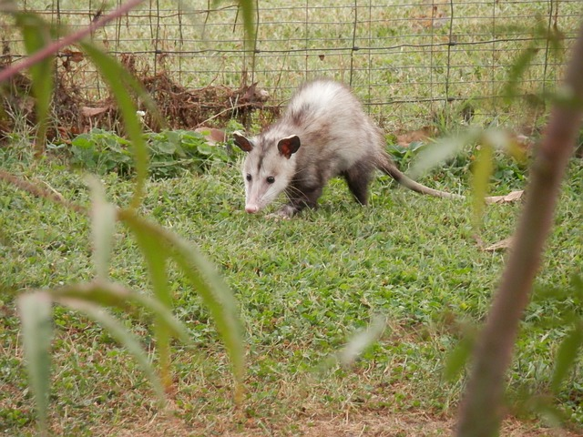 possum in the garden