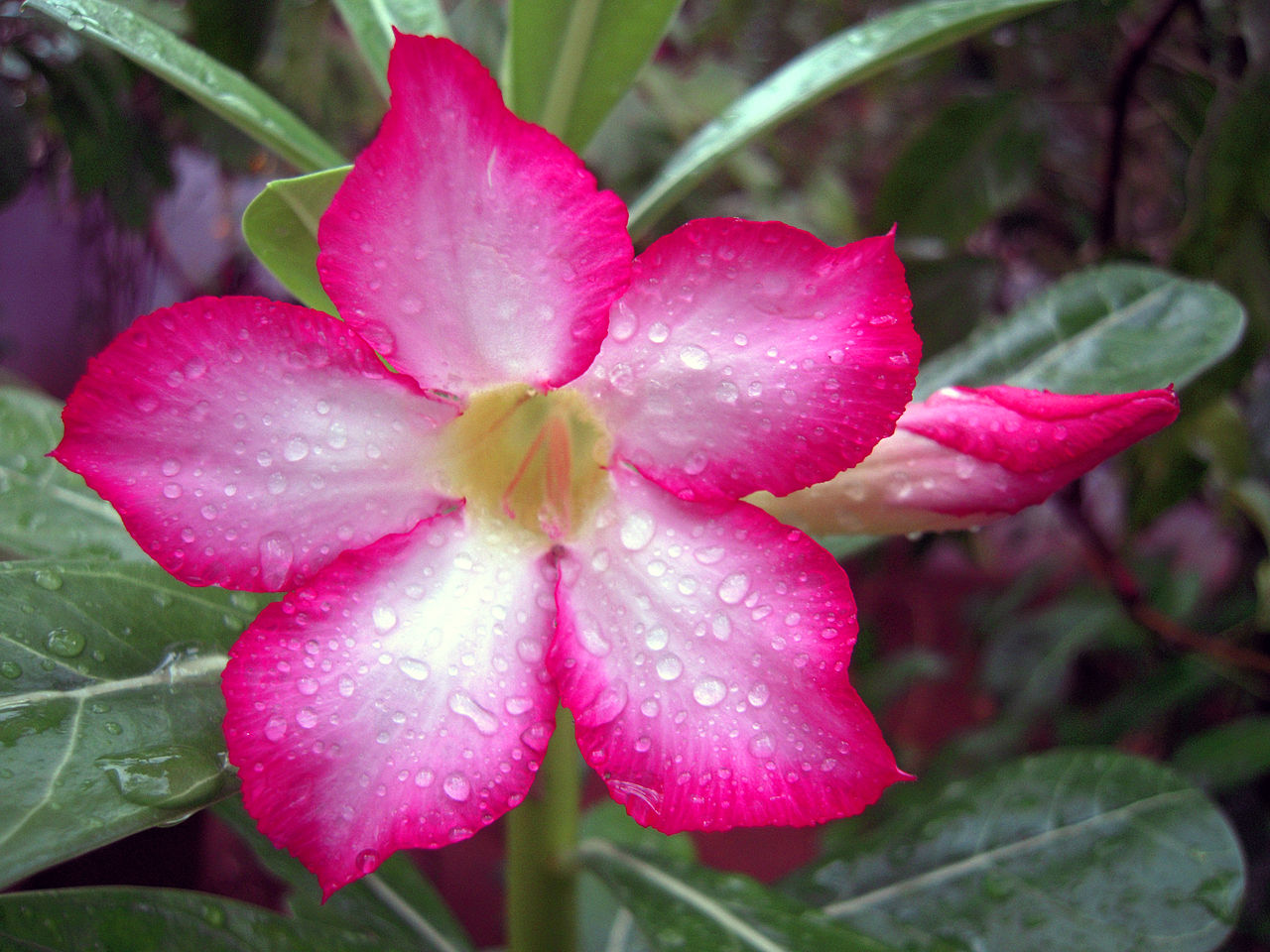 sturts desert rose