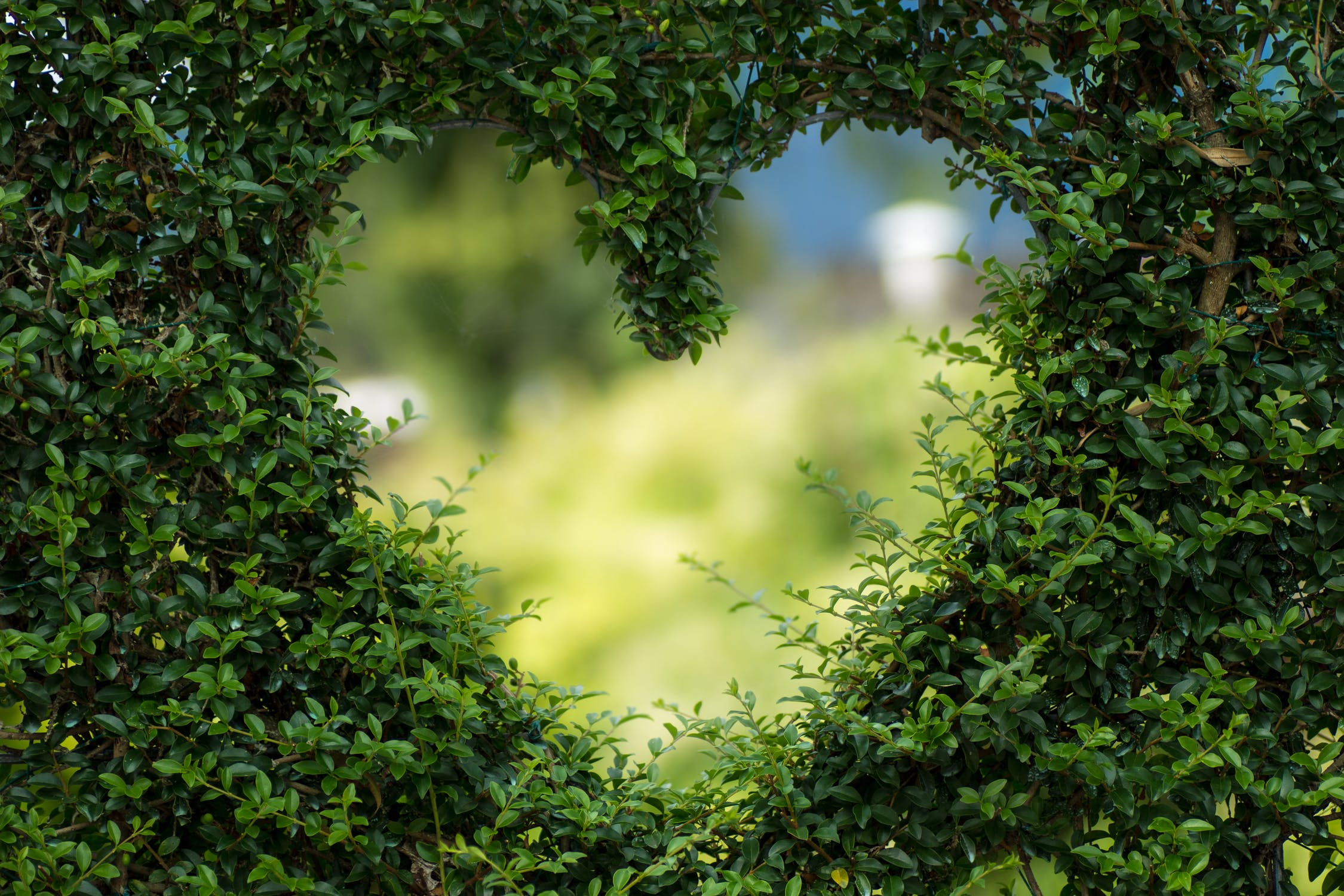 green garden hedge with a heart shaped cutout