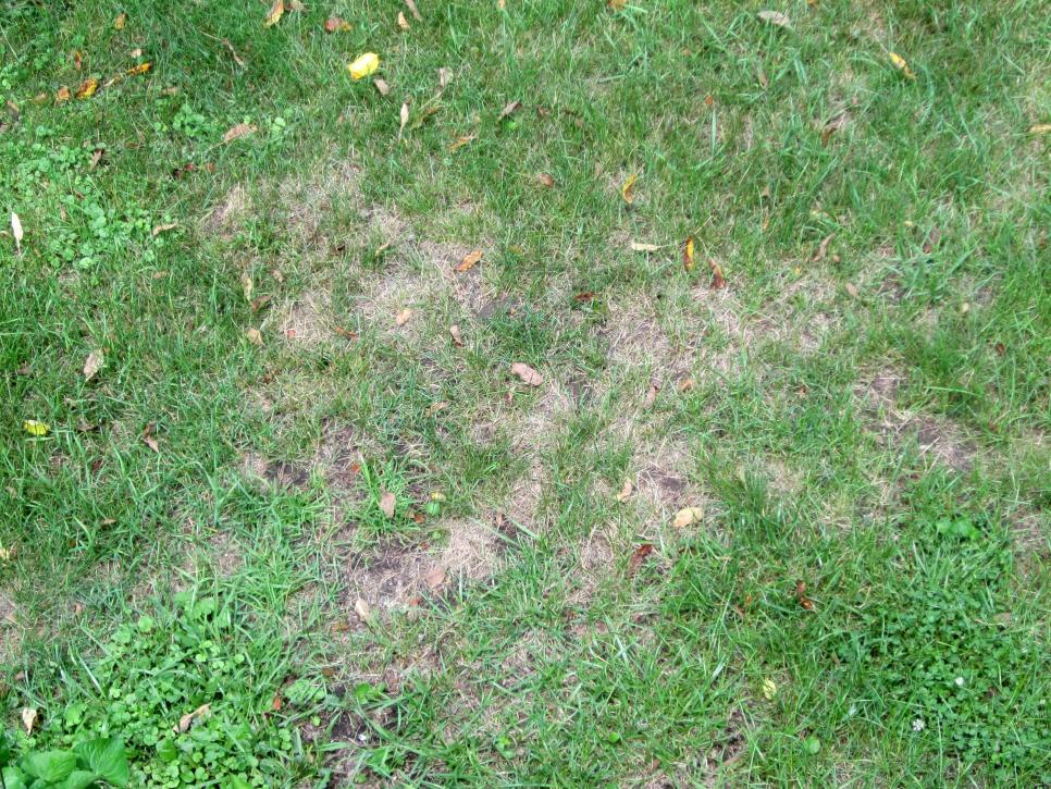 Lawn Grub Damage