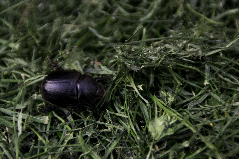 African Black Beetle & Lawn Grub