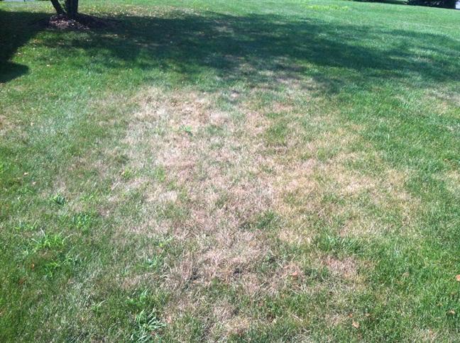 Lawn Grub Damage